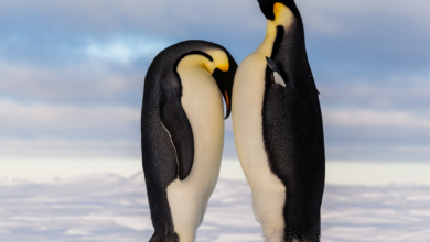 Penguin Lead